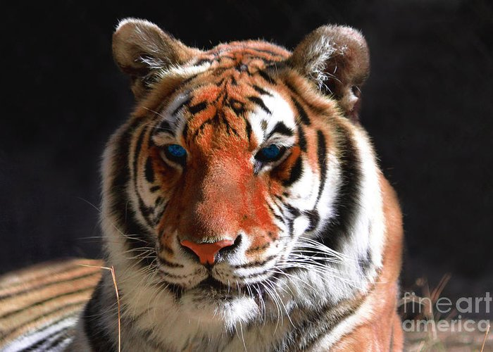 Tiger Greeting Card featuring the photograph Tiger Blue Eyes by Rebecca Margraf