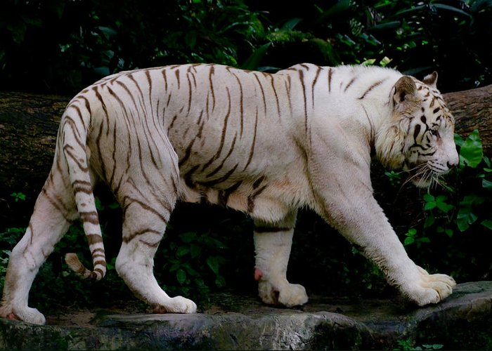 White.tiger Greeting Card featuring the photograph Tiger by Chua ChinLeng