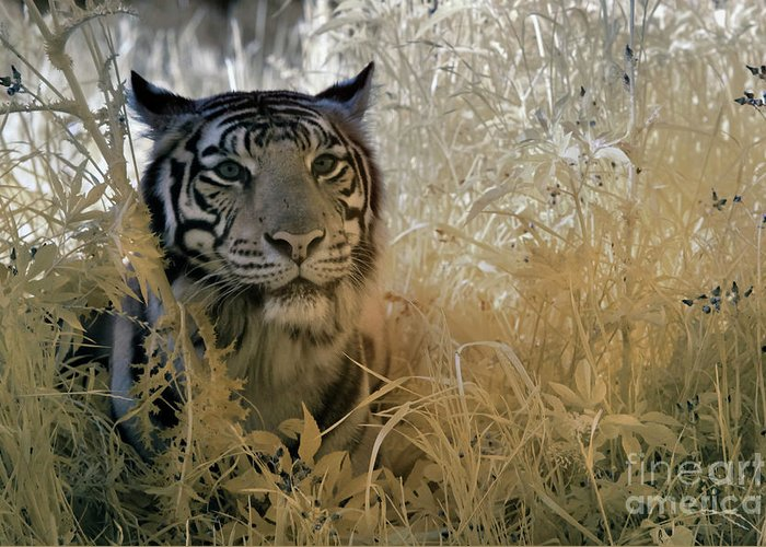 Animal Photography Greeting Card featuring the photograph Tiger In Infrared by Keith Kapple