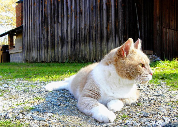 Cat Greeting Card featuring the photograph Toby Old Mill Cat by Sandi OReilly