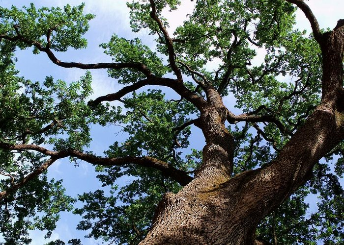 Huge Oak Tree Photo Photographs Greeting Card featuring the photograph Towering Oak In Summer by Cherokee Blue