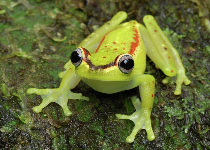 Mp Greeting Card featuring the photograph Tree Frog Hyla Rubracyla, Colombia by Thomas Marent