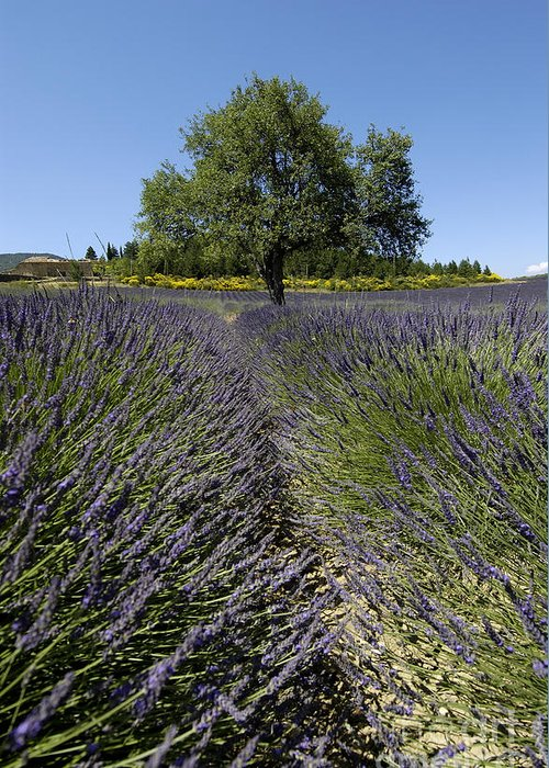 Field Greeting Card featuring the photograph Tree In A Field Of Lavender. Provence by Bernard Jaubert