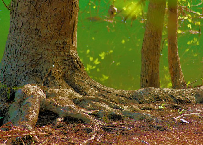 Tree Greeting Card featuring the photograph Tree Roots by Karen Wagner