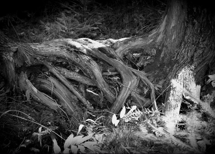 Trees Greeting Card featuring the photograph Tree Roots1 by Jennifer King