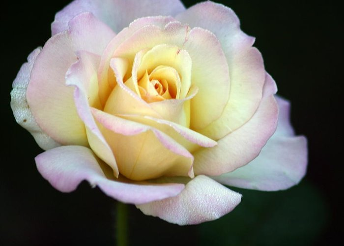 Rose Greeting Card featuring the photograph Trilogy Of A Rose- Day Two by LC Linda Scott