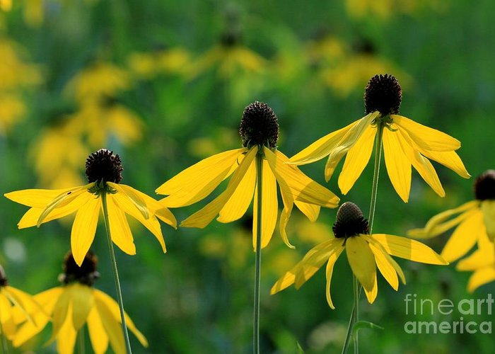 Coneflowers Greeting Card featuring the photograph Triplets by Rick Rauzi