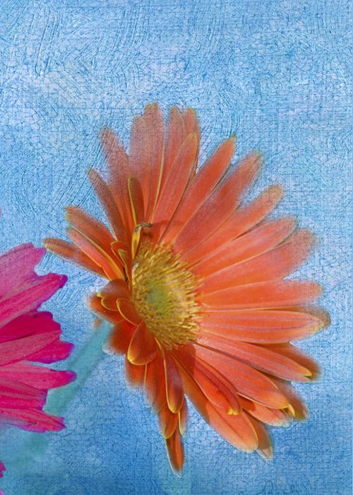 Triptych Greeting Card featuring the photograph Triptych Gerbera Daisies-three by Betty LaRue