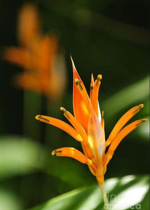 Tropical Greeting Card featuring the photograph Tropical Orange Heliconia Flower by Elena Elisseeva