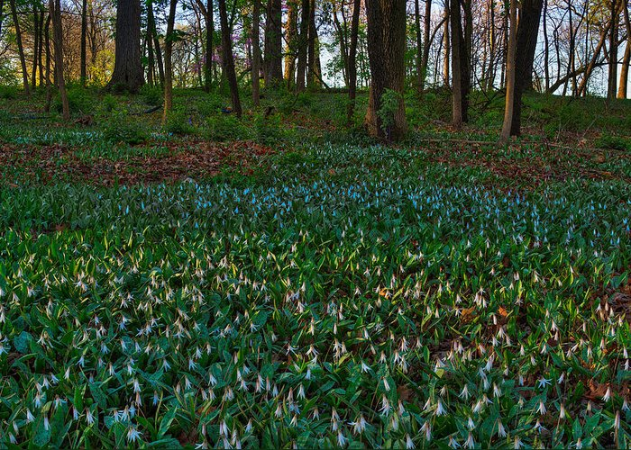 Illinois Greeting Card featuring the photograph Trout Lilies On Forest Floor by Steve Gadomski