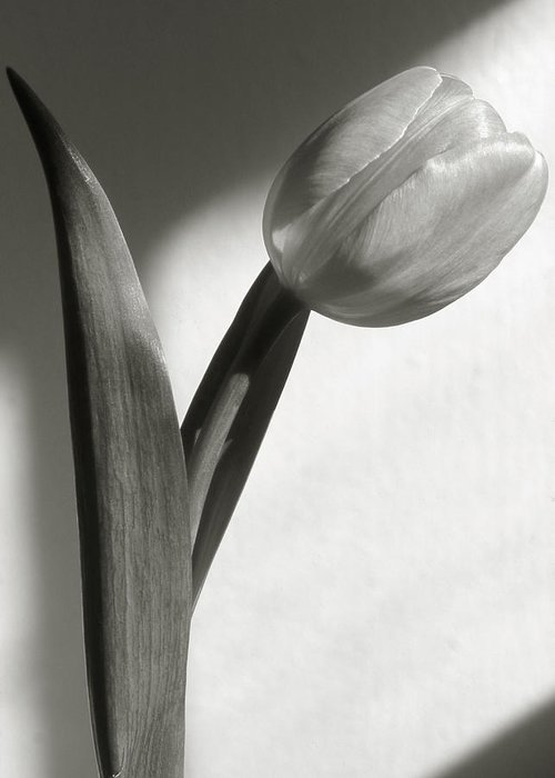 Flower Greeting Card featuring the photograph Tulip At My Window by Tony Ramos