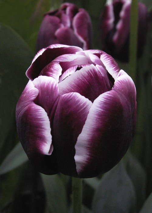 Tulip Greeting Card featuring the photograph Tulip Gavota by Nancy Griswold