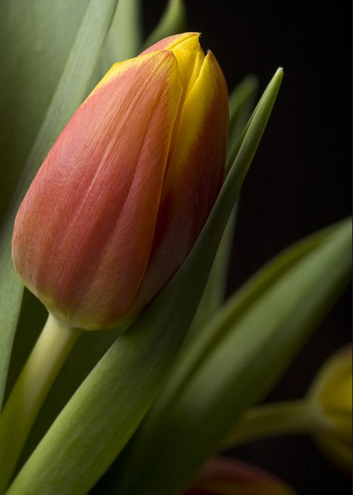 Greeting Card featuring the photograph Tulip On Black by Al Hurley