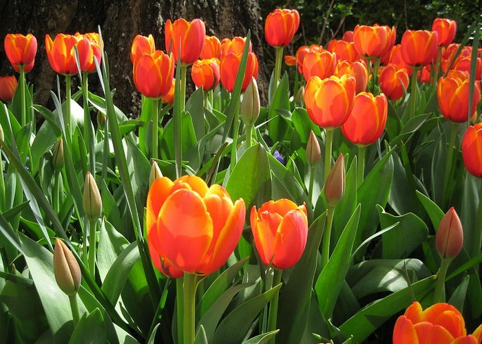Flowers Greeting Card featuring the photograph Tulip Time by Margaret Hodgson