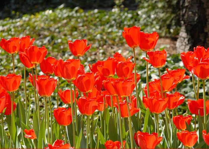 Red Tulips In The Field Greeting Card featuring the photograph Tulips In The Field by Oudi Arroni