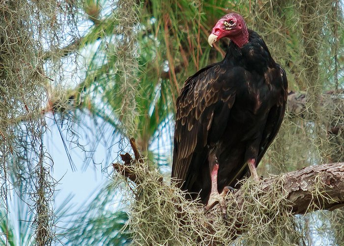 7430 Greeting Card featuring the photograph Turkey Vulture by Marx Broszio