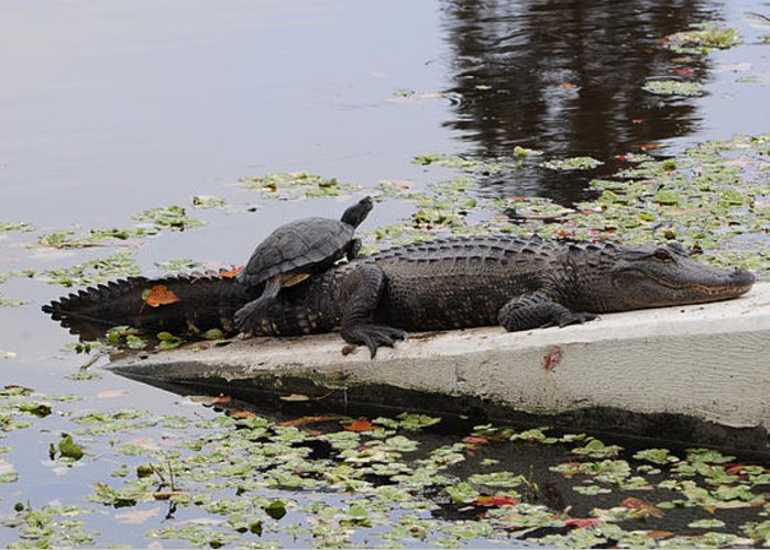 Turtle Greeting Card featuring the photograph Turtle Takes A Gator Ride by Don McBride