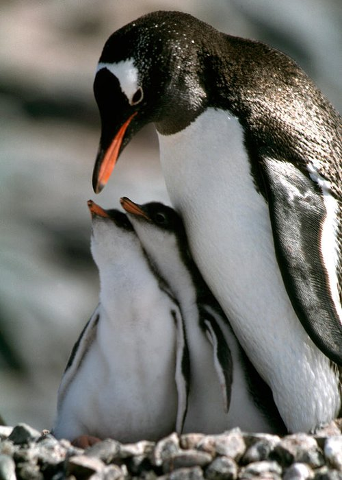 Penguins Greeting Card featuring the photograph Twins by Cliff Wassmann