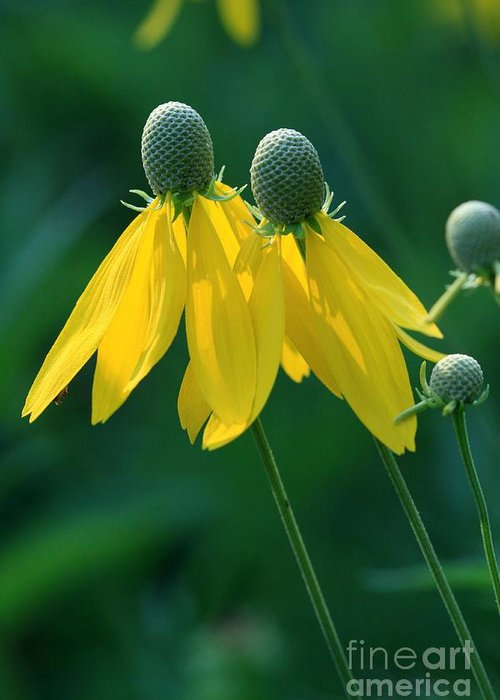 Coneflowers Greeting Card featuring the photograph Twins by Rick Rauzi