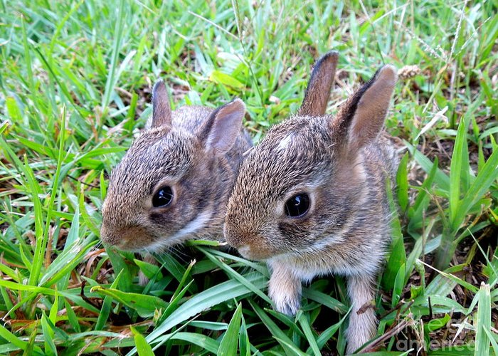 Rabbit Greeting Card featuring the photograph Two Baby Bunnies by Renee Trenholm