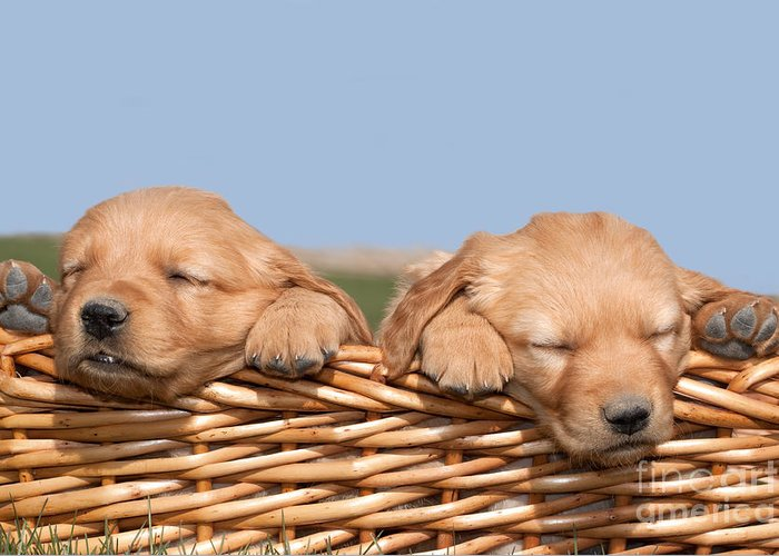 Dogs Greeting Card featuring the photograph Two Cute Puppies Asleep In Basket by Cindy Singleton