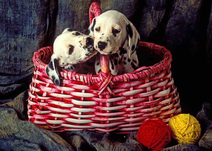 Two Dalmatian Greeting Card featuring the photograph Two Dalmatian Puppies by Garry Gay