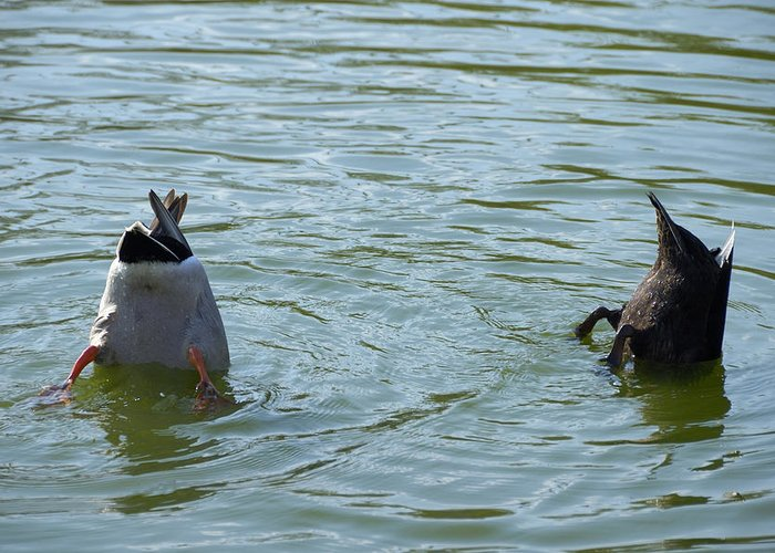 Ducks Greeting Card featuring the photograph Two Ducks Diving by Matthias Hauser