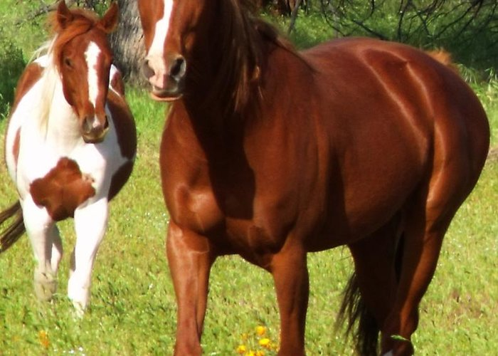 Two Horses Summer Greeting Card featuring the photograph Two Horses In Summer by Cherokee Blue