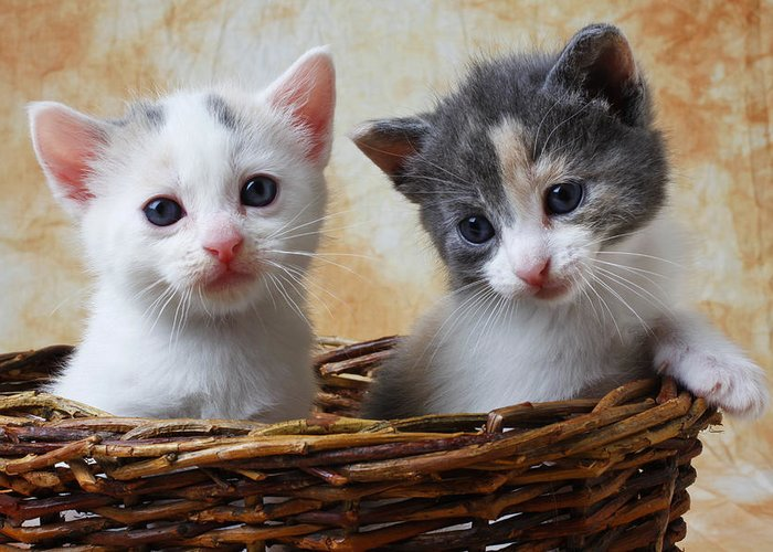 Two Kittens Basket Cat Cute Greeting Card featuring the photograph Two Kittens In Basket by Garry Gay
