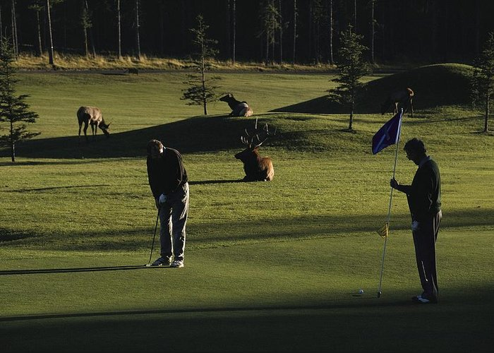North America Greeting Card featuring the photograph Two People Play Golf While Elk Graze by Raymond Gehman