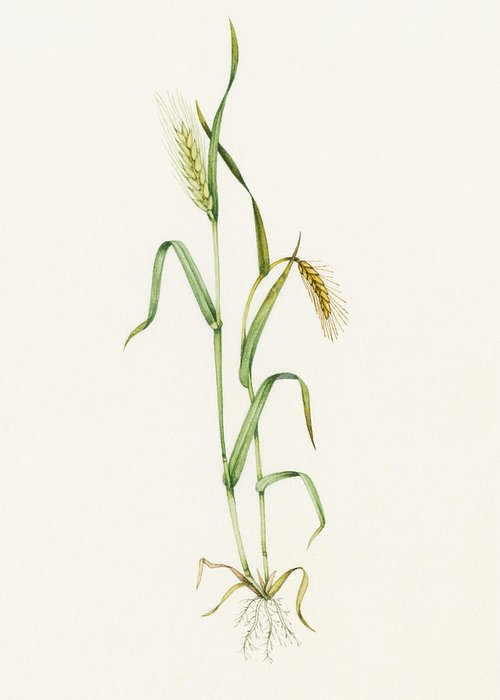 Two-row Barley Greeting Card featuring the photograph Two-row Barley (hordeum Distichum) by Lizzie Harper