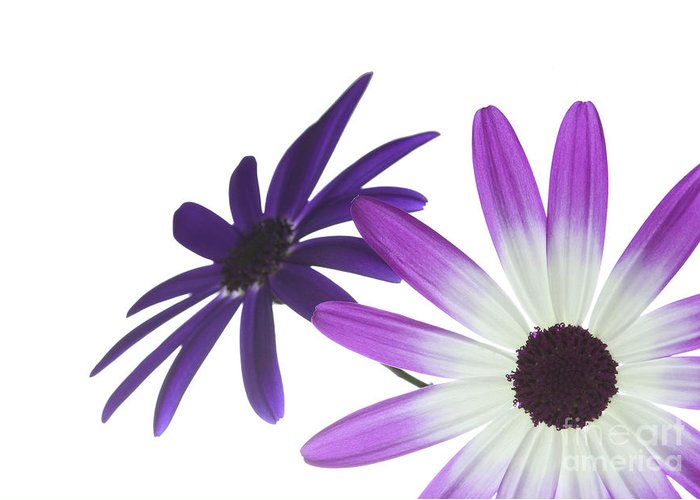 Annual Greeting Card featuring the photograph Two Senetti's by Richard Thomas