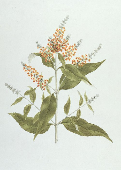 Buddleia Greeting Cards