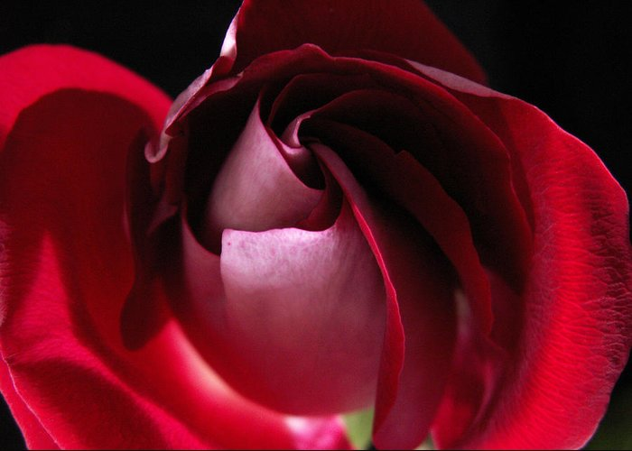 Rose Greeting Card featuring the photograph Unfolding Rose by Nancy Griswold
