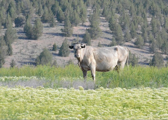Cow Greeting Card featuring the photograph Unusual Colored Cow by Linda Larson