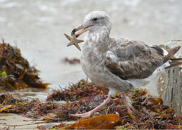 Seagull With Starfish Greeting Cards