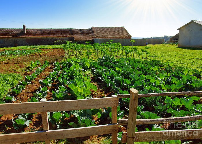 Agricultural Greeting Card featuring the photograph Vegetable Farm by Carlos Caetano