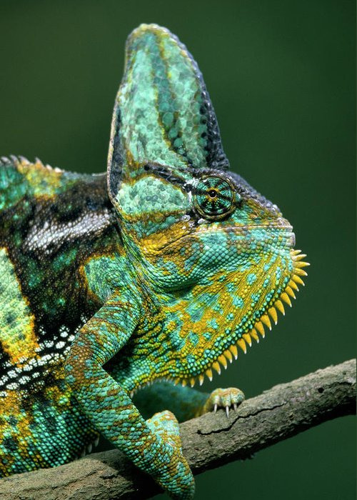 Fn Greeting Card featuring the photograph Veiled Chameleon Chamaeleo Calyptratus by Ingo Arndt