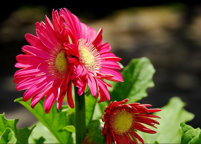 Flower Greeting Card featuring the photograph Vibrant Hot Pink by Christine Tuck