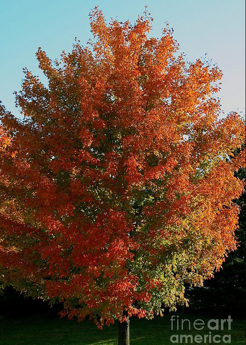 Outdoors Greeting Card featuring the photograph Vibrant Sugar Maple by Susan Herber