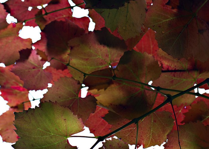 Vine Leaves Greeting Card featuring the photograph Vine Leaves by Douglas Barnard