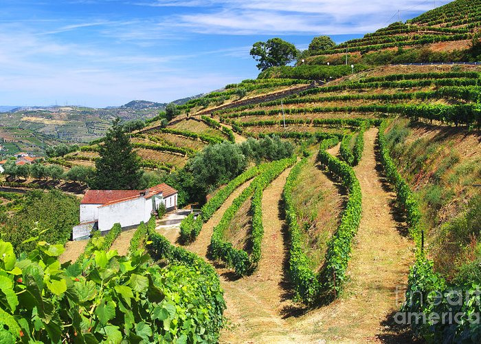 Agriculture Greeting Card featuring the photograph Vineyard Landscape by Carlos Caetano