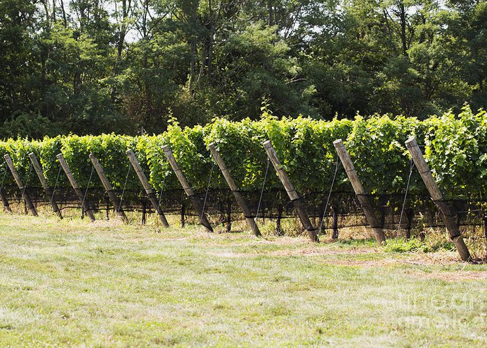 Vineyard Greeting Card featuring the photograph Vineyards by Leslie Leda