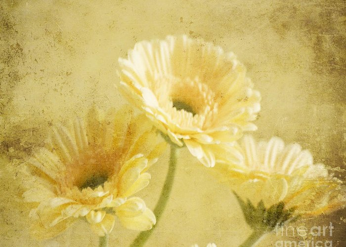 Gerber Greeting Card featuring the photograph Vintage Vanilla by Traci Cottingham