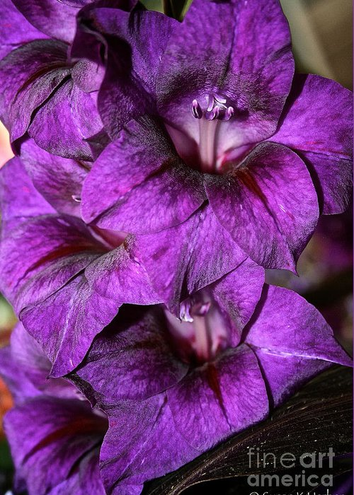 Outdoors Greeting Card featuring the photograph Violet Glads by Susan Herber