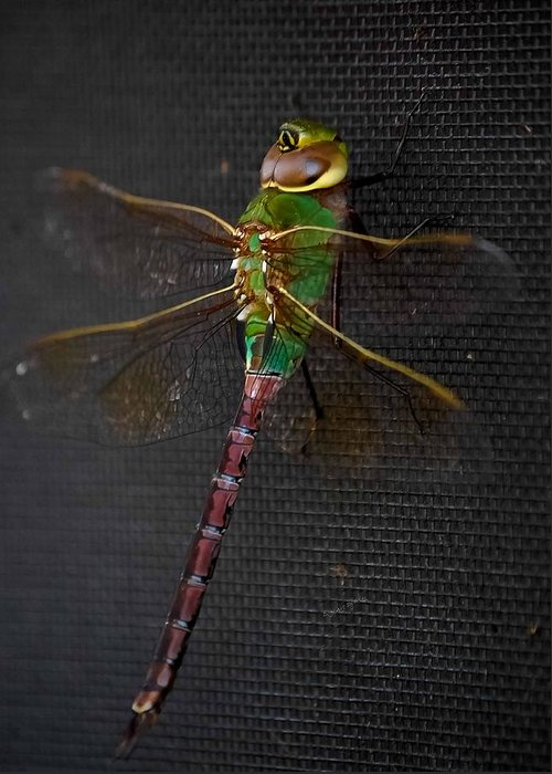 Damselfly Greeting Card featuring the photograph Violet Tail Damsel by DigiArt Diaries by Vicky B Fuller