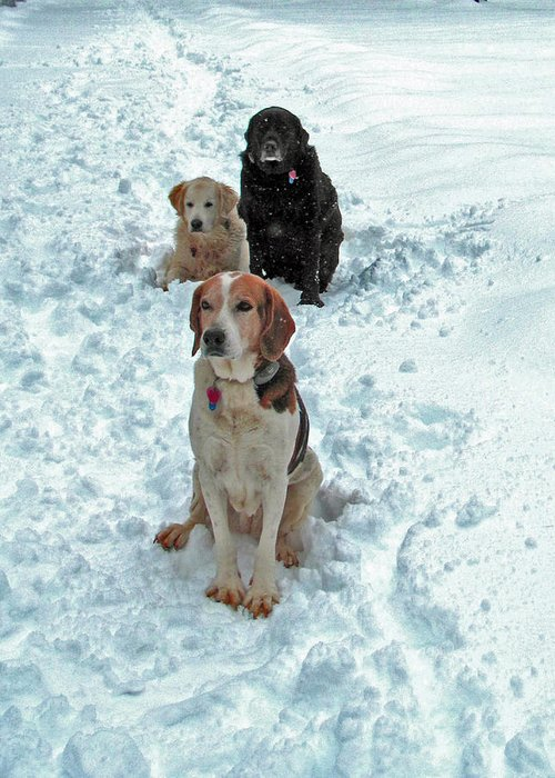 Dogs Greeting Card featuring the photograph Waiting For The Snowball by Elisia Cosentino