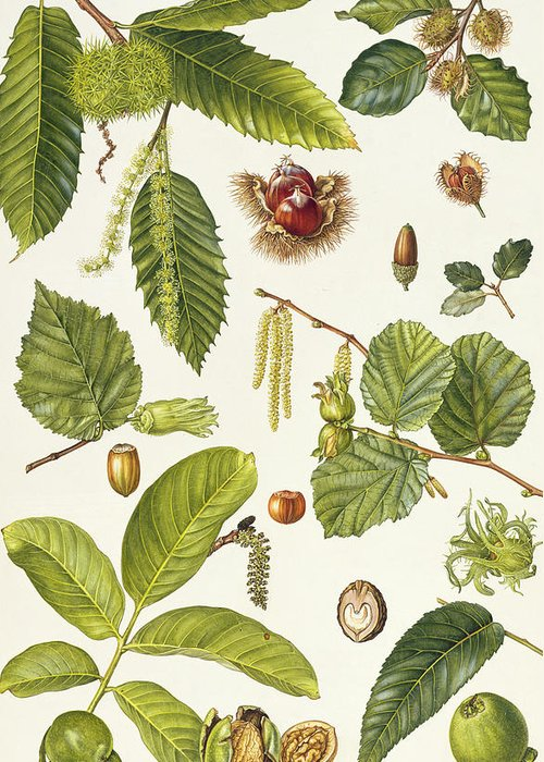 Sweet Chestnut; Beech; Cork Oak; Filbert; Hazel; Catkin; Husk; Acorn; Leaves; Botanical; Nuts Greeting Card featuring the painting Walnut And Other Nut-bearing Trees by Elizabeth Rice