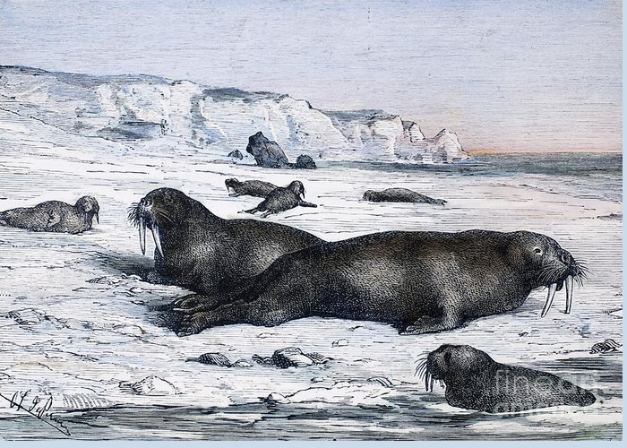 19th Century Greeting Card featuring the photograph Walruses On Ice Field by Granger