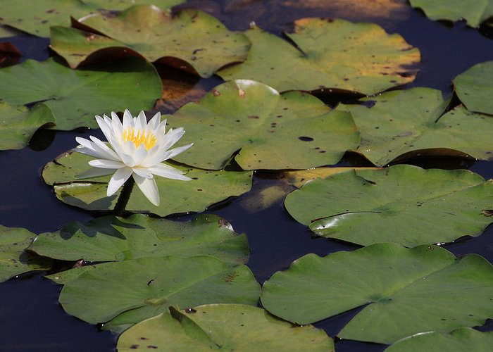 Water Greeting Card featuring the photograph Water Lilly by Forest Alan Lee
